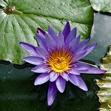 Blue Lotus Effects Everything You Need To Know About Nymphaea