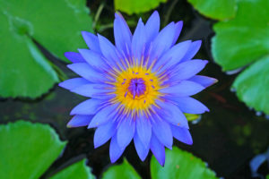 Blue Lotus Flower As A Legal High Drugs And Bad Ideas